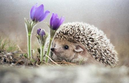 Ранняя теплая весна может погубить ежей и барсуков в уральских лесах