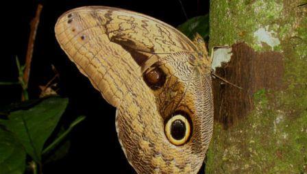 Пятна на крыльях бабочек имитируют глаза хищных птиц
