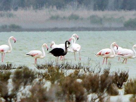Черный фламинго