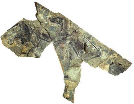 """Скелет """"и чи"""", динозавра, обладавшего перепончатыми крыльями"""