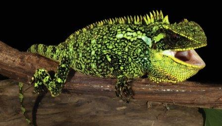 "Взрослая самка ""дракона"" вида Enyalioides altotambo"