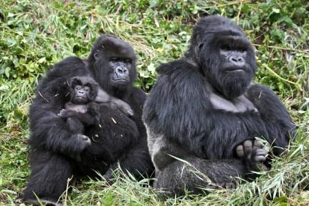 Генетики выяснили, что восточным гориллам грозит деградация