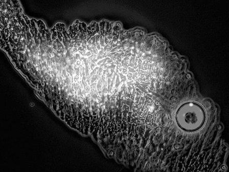 Археи Metallosphaera sedula на частице метеоритного вещества