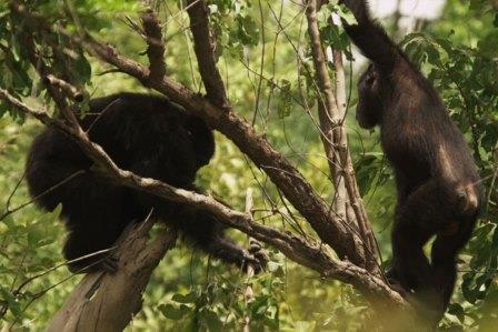 Шимпанзе с дротиком