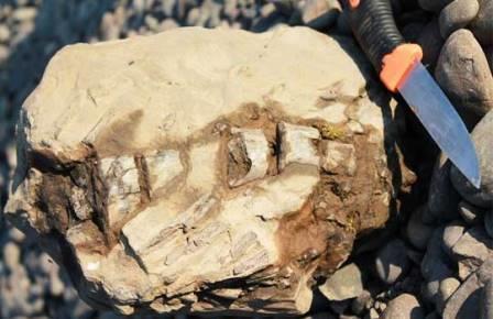 Фрагмент позвоночного столба ихтиозавра