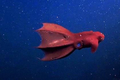 Адские вампиры оказались рекордсменами размножения среди моллюсков