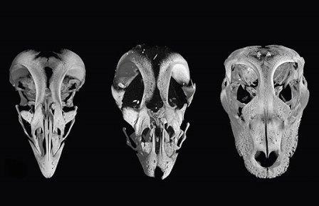 """Американские биологи, работающие над проектом обратной эволюции птиц, широко известным как """"курозавр"""", успешно избавились от клюва. Наряду с вееровидным хвостом, отсутствием зубов и цепких лап именно клюв является одной из важнейших черт, отличающих птиц от рептилий. Таким образом, """"возвращение динозавров"""", или, точнее, конструирование подобий древних рептилий из материала их потомков, успешно продвигается вперед.  Черепа цыпленка из контрольной группы (слева), """"курозавра"""" (в центре) и современного аллигатора (справа)     Как известно, динозавры вымерли на границе мелового и палеогенового периодов, примерно 65 млн лет назад. Единственными дожившими до наших дней их потомками считаются современные птицы, которых некоторые исследователи склонны вообще считать особой группой динозавров. """"Сейчас в мире существует от 10 до 20 тысяч видов птиц, то есть по крайней мере в два раза больше, чем всех известных видов млекопитающих. Так что в каком-то смысле мы по-прежнему живем в эпоху динозавров"""", – заявил ведущий автор нового исследования Барт-Аньян Буллар, палеонтолог и биолог Йельского университета.  Вместе с Архатом Абжановым из Гарварда Буллар работает над созданием курозавра – птицы, которой искусственным образом возвращены черты строения ее предков-динозавров. Своей главной задачей научный коллектив называет замену птичьего клюва на рептилью морду. """"Клюв очень важен для питания птиц и является важной частью их скелета. Возможно, именно этот орган наиболее разнообразен по форме и функциям – вспомните, например, как различаются клювы фламинго, попугая, ястреба, пеликана или колибри, – рассказал Буллар. – Тем не менее, пока было опубликовано очень мало работ, посвященных анатомии и эволюции клювов"""". Клюв призван максимально облегчить скелет, сэкономить энергетические затраты на формирование зубов, а заодно и заменить собой цепкие передние конечности, видоизменившиеся в крылья.  Чтобы вернуть эмбрионам цыплят строение морды, характерное для предковых, """"доклювовых"""" форм, исс"""