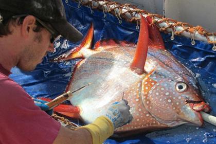 Обнаружена первая полностью теплокровная рыба