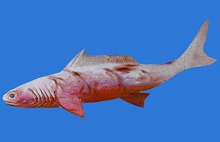 Gogoselachus lynnbeazleyae