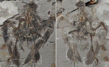 Останки Archaeornithura meemannae