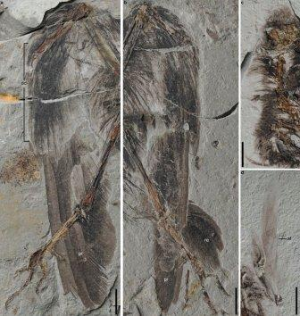 Следы оперения Archaeornithura meemannae крупным планом