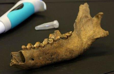 Нижняя челюсть таймырского волка в лаборатории
