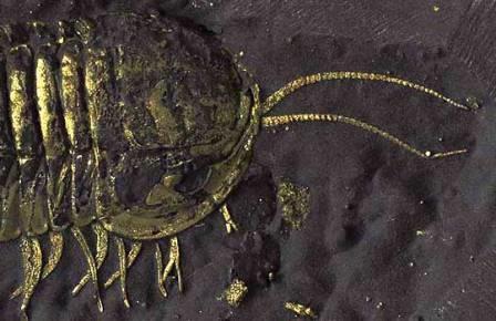 Пиритизированный трилобит Triarthrus с сохранившимися конечностями
