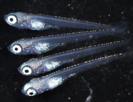 """Мальки рисовой рыбки, родившиеся из нормальных яйцеклеток и """"женских"""" сперматозоидов"""