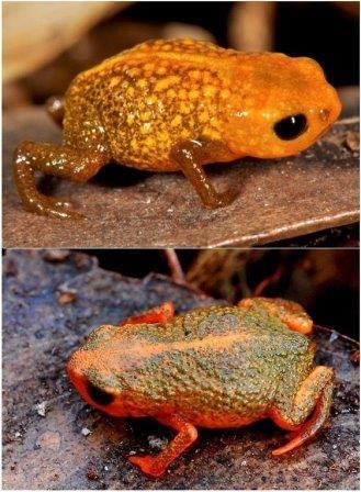 Два вида нано-жаб - Brachycephalus auroguttatus (сверху) и Brachycephalus verrucosus (снизу)