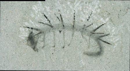 Отпечаток галлюцигении, найденный в сланцах Бёрджесс
