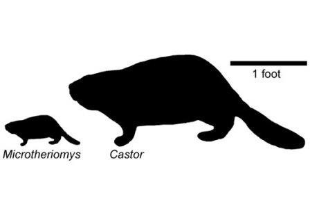Американские палеонтологи открыли карликового бобра