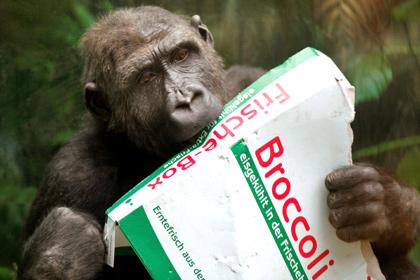Ученые обнаружили у шимпанзе способности к приготовлению еды