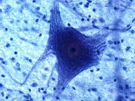 Нейрон и глия