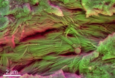 Микрофотография костей неизвестного динозавра со следами минерализованных волокон