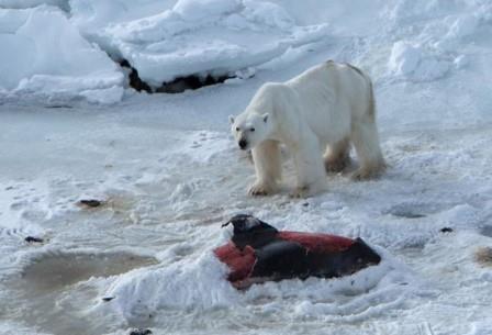Белый медведь с добычей