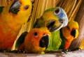 Попугаев отличают нейроны, размещенные вокруг голосовых центров в их мозгу