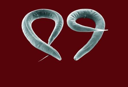 Нематоды C. elegans — популярные объекты для исследований нервной системы и генома