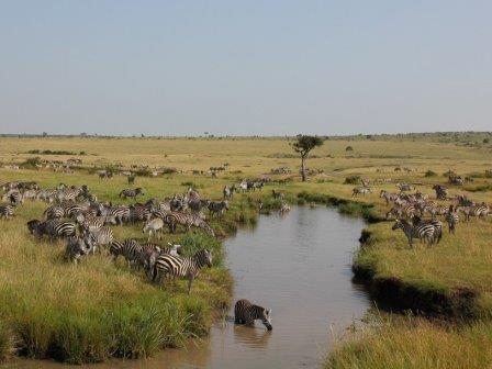 Зебры в кенийской саванне