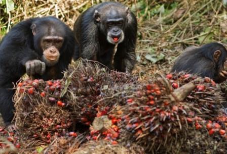 Исследователи задокументировали 51 случай пьянства обезьян, из которых 31 пришелся на мужские особи шимпанзе