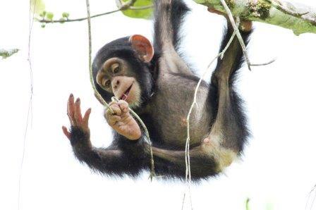 Молодой шимпанзе играет с веточками и будущими труда