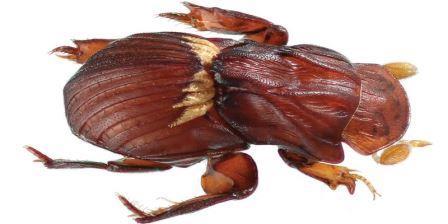 Termitotrox venus
