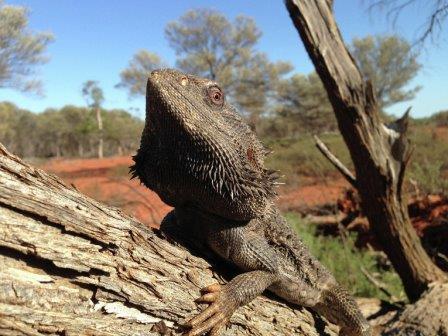 Австралийская бородатая агама, чьи самцы начали превращаться в «трансвеститов» под действием глобального потепления