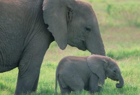 Крошечный слоненок: сегодня мы скажем «мимими», а когда–то — «ням–ням»