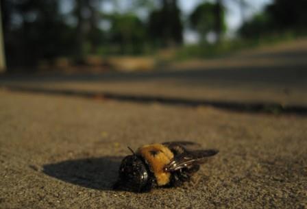 С нарастанием глобального потепления ареал обитания холодолюбивых шмелей быстро сокращается