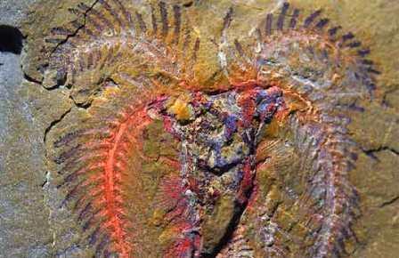 Типичная окаменелось из Фезоаты – членистоногое из группы Marrellomorpha c сохранившимися отпечатками мягких тканей