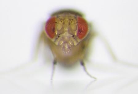 Чересчур назойливые преследования не позволяют привлекательным самкам мух нормально передать гены потомству