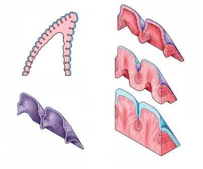 Этапы развития зуба у теропод
