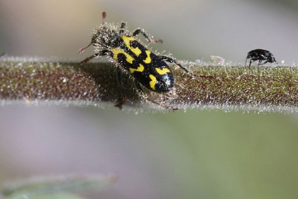 Растение научилось защищаться трупами насекомых