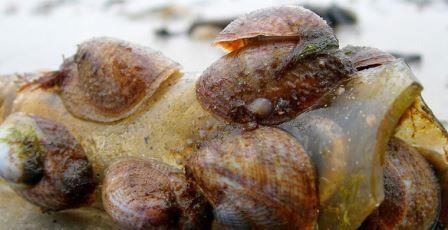 Морские туфельки
