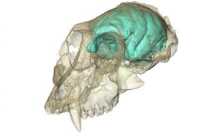 Ученые создали трехмерную модель мозга древнейшей обезьяны