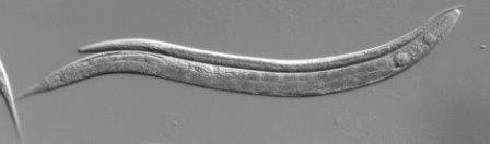 """""""Спящая"""" личинка (сверху) и взрослая особь(снизу) нематоды Caenorhabditis elegans"""