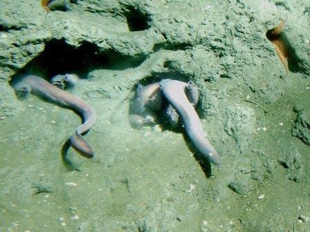 Миксины вида Eptatretus stoutii