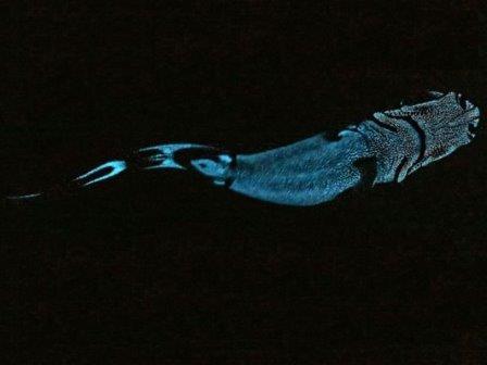 Выяснены причины свечения глубоководных акул