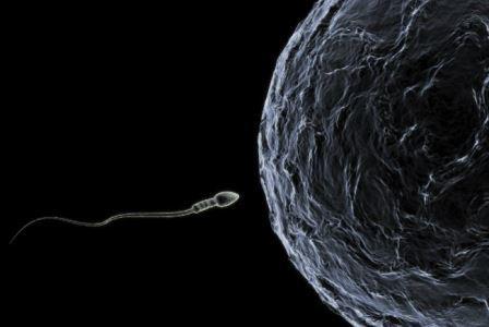 Российские биологи выяснили, что сперматозоиды передают «ген порядка»
