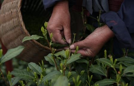 Чай на территории Китая начали выращивать 6 тыс. лет назад