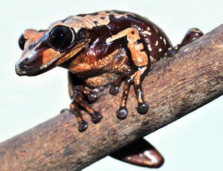 Лягушка Aparasphenodon brunoi