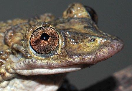 Лягушка Corythomantis greeningi