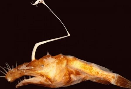 Lasiognathus dinema