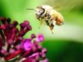 Антибиотики вредят пчелам так же, как и людям