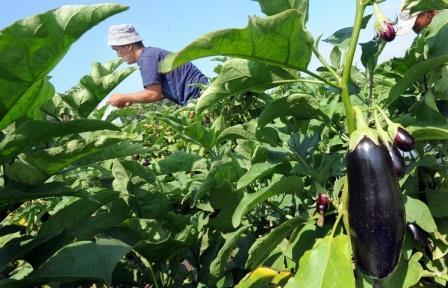 Астраханские ученые выведут новый сорт зеленых баклажанов без горечи